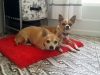 dog-boarding-in-phx-with-heidis-historic-home-pet-care1