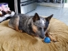 dog-boarding-in-phx-with-heidis-historic-home-pet-care10