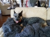 dog-boarding-in-phx-with-heidis-historic-home-pet-care11