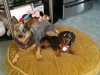 dog-boarding-in-phx-with-heidis-historic-home-pet-care13