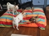 dog-boarding-in-phx-with-heidis-historic-home-pet-care17