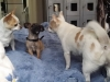 dog-boarding-in-phx-with-heidis-historic-home-pet-care22