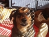doggie-day-care-boarding-in-phx-with-heidis-historic-home-pet-care22