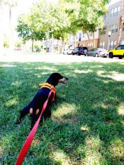 Dog-Walking-with-Heidis-Historic-Home-and-Pet-Care-Central-Phoenix