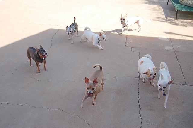 boarding-chihuahuas-phoenix, Dog Boarding Phoenix, Dog Boarding Downtown Phoenix, Dog Boarding Central Phoenix, Doggie Day Care Phoenix, Doggie Day Care Downtown Phoenix, Doggie Day Care Central Phoenix